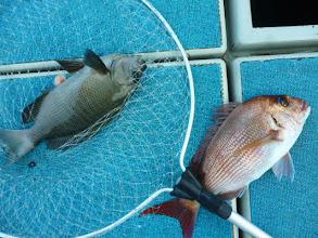 Photo: 今度は、真鯛とクロのダブル!「ざっと、こんなもんよ!」