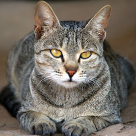 CAT by Vivek Naik - Animals - Cats Portraits ( house cats, cat, domestic cat )