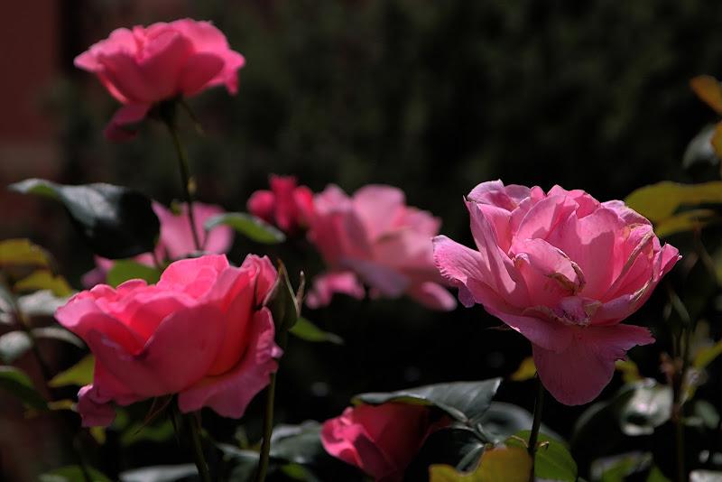 Rose di maurizio_longinotti