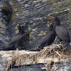 Double-crested Cormorants (Nesting)