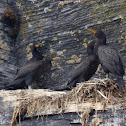 Double-crested Cormorants (Nesting)