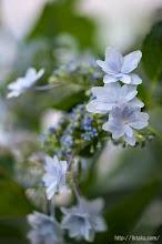 Photo: アジサイの花期は5月中旬から7月上旬。(2014,06,15)