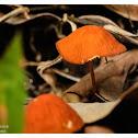 Marasmius siccus 琥珀小皮傘