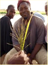 Photo: Timbuktu, Mali, West Africa. October 2008. A panicle from an indigenous black deepwater rice variety. [Photo by Erika Styger]