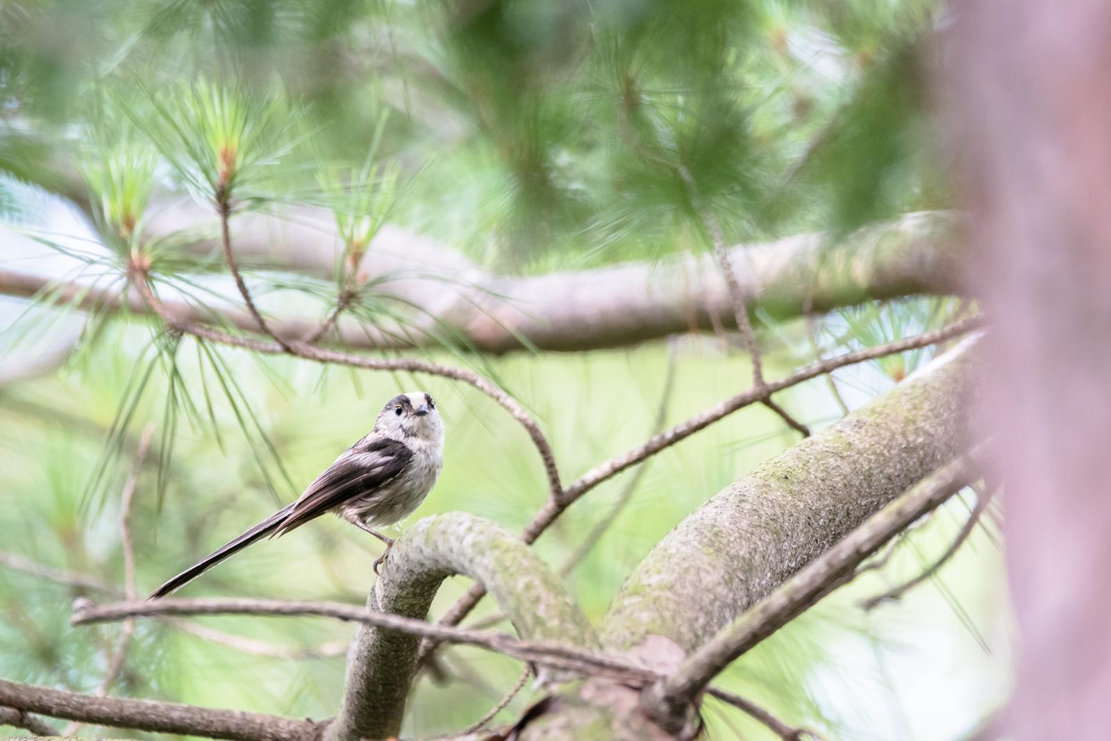 Photo: 「木陰でほっと」 / Rest in the shade of a tree.  晴れ空が嬉しくて たくさんたくさん飛びまわる そして少しだけ木陰で足を止める ほっとする一休み  Long-tailed Tit. (エナガ)  Nikon D500 SIGMA 150-600mm F5-6.3 DG OS HSM Contemporary  #birdphotography #birds #kawaii #ことり #小鳥 #nikon #sigma  ( http://takafumiooshio.com/archives/2727 )