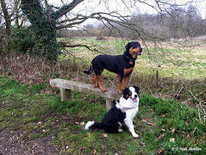 Photo: Betsy Rottie and Galu Border Collie at Weavers way