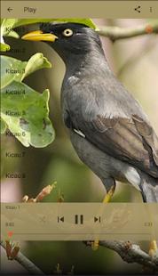 Master Kicau Jalak Kebo - náhled