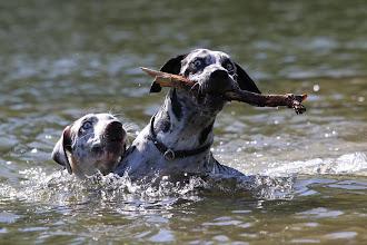 """Photo: Dam: CH Crawdad's LOUISIANA, import Louisiana, USA (HD A/A, ED 0/0, full dentition) Coahoma Catahoulas litter """"U"""" *January 03, 2017 12 puppies (6 males & 6 females) www.coahoma.eu"""