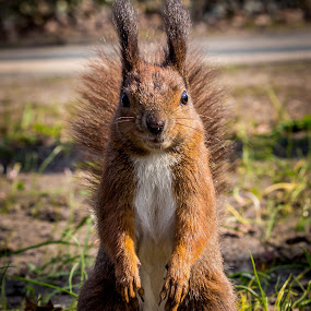 Posing squirrel by Adrian Ioan Ciulea - Animals Other Mammals ( furry, fur, cute, posing, squirrel, animal,  )