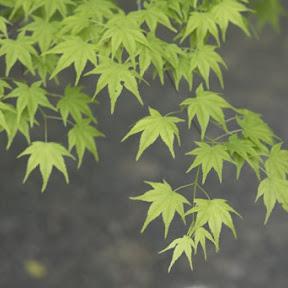 京都・八瀬『瑠璃光院』の青もみじ初のライトアップが幻想的!今季初、夜の特別拝観へ