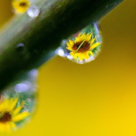 DewFlower by Bob Minnie - Abstract Macro ( macro, dew drops, sunflower )