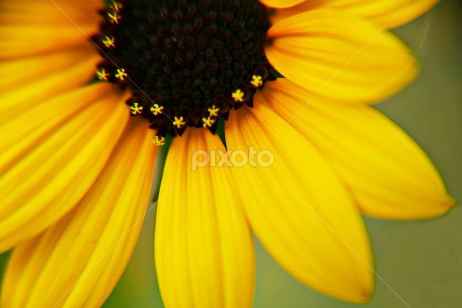 Sunflower by Sayan Gupta - Nature Up Close Flowers - 2011-2013