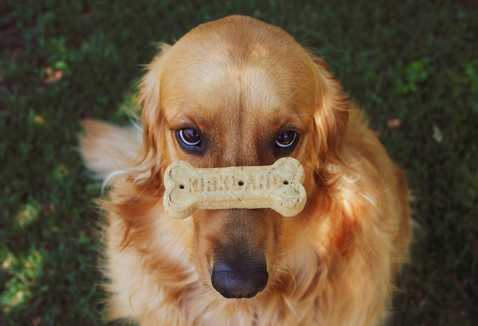 golden retriever waiting patiently while balancing a treat on his nose