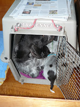 Photo: Ze zijn met z'n allen in het reiskenneltje gekropen. Moeder + 8 puppies.