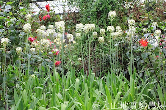 Photo: 拍攝地點: 梅峰-溫帶花卉區 拍攝植物: 伯利恆之星 拍攝日期:2013_09_28_FY