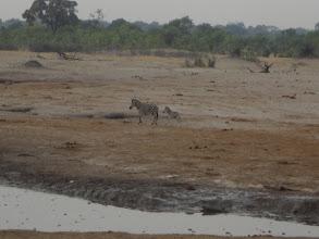Photo: Zebra and baby!