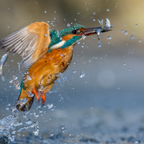 the perfect fisher bird.... by Riccardo Trevisani - Animals Birds ( bird, riccardo trevisani, kingfisher, wildlife, nikon, italy )