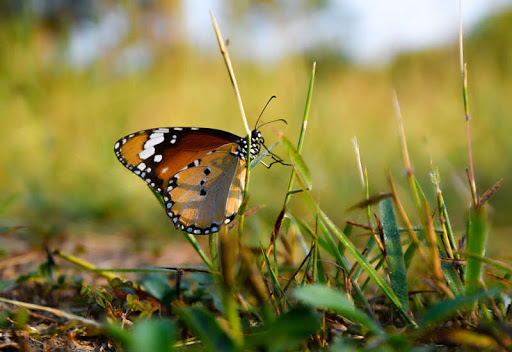 The Decline of Butterflies May Bring Dire Consequences for Life on Earth