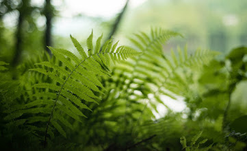 Photo: Ferns in the forest at Emerald Lake State Park