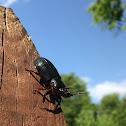 Black Ground Beetle