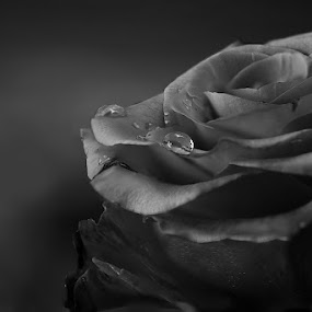 Roses forever by Furrukh Shahzad - Flowers Single Flower ( water, pakistan, rose, black and white, furrukh, drops, beauty, nikon, bud )