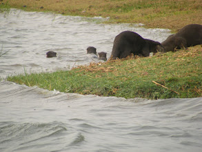 Photo: A family of otters - this gave us such pleasure