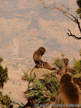 Photo: Gelada Paviáni ze Simiensu (národní park) / Gelada Baboons in Simien Mountains