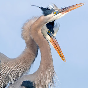 by Shelly Wetzel - Animals Birds ( great blue heron, wading bird, ardea herodias )