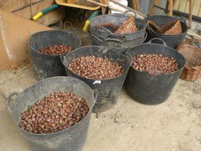Photo: es tiempo de recoger las castañas