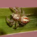 Frigga spider