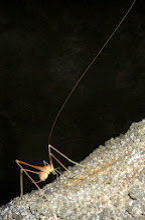 Photo: Cave Cricket