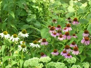 Photo: echinacea garden