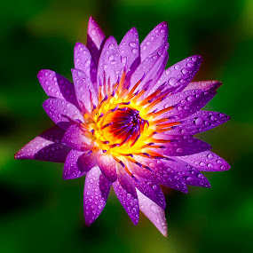 fire of purple by Fadly Shaputra - Nature Up Close Flowers - 2011-2013