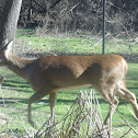 White Tail Deer (DOE)