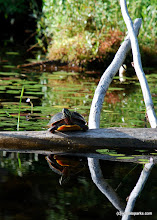 Photo: Turtle basking in the sun at Lowell Lake State Park by Linda Carlsen Sperry