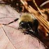 Carpenter Bees