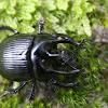 Minotaur Beetle