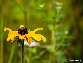 Photo: Daisy found in Mt Ascutney State Park by Tara Schatz