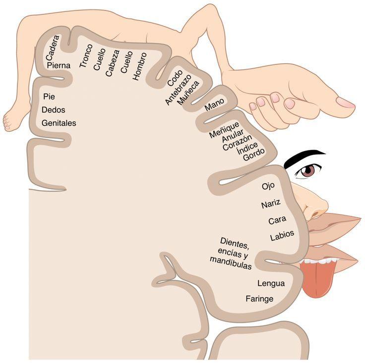 Representación de la mano en el cerebro -Homónculo de Penfield-. Miedo a las matemáticas.