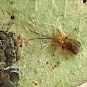 Giant Ichneumon Wasp Male