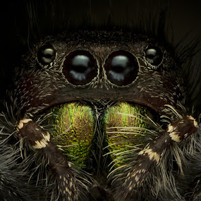 Emerald demon! by Tomáš Celar - Animals Insects & Spiders ( canon, scary, tomáš, celar, audax, jumping, fangs, the, lord, pretty, macro, epic, emerald, mp-e, dark, spider, darkness )