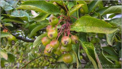 Photo: Măr ornamental - (Malus spp) - din Piata 1 Decembrie 1918 - 2017.07.20