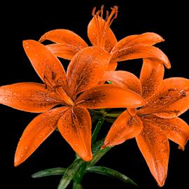 by Amrita Bhattacharyya - Flowers Single Flower