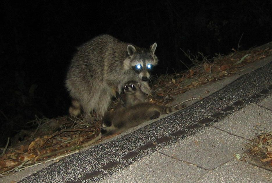 coon-roof