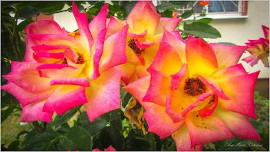 Photo: Trandafir (Rosa)  - Calea Victoriei, Bloc B 15, spatiu verde - 2019,07.14