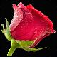 Red Rose Wallpaper Download on Windows