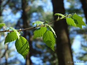 Photo: Black birch