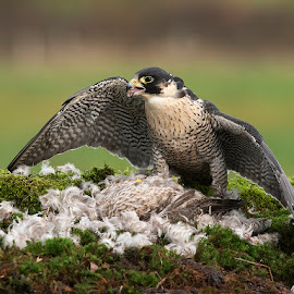 peregrine falcon by Paul Hudson - Animals Birds