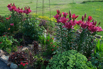 Photo: Despite being portrayed as true red, these lilies are pinky red and will be moved.