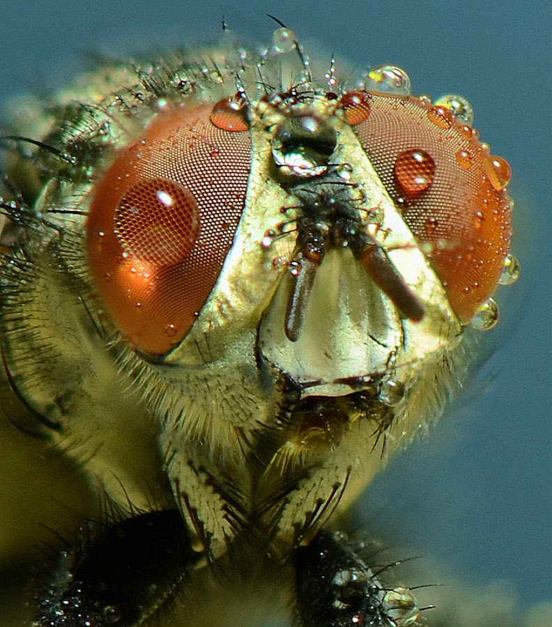 by Liqiang Huang - Animals Insects & Spiders ( fly )